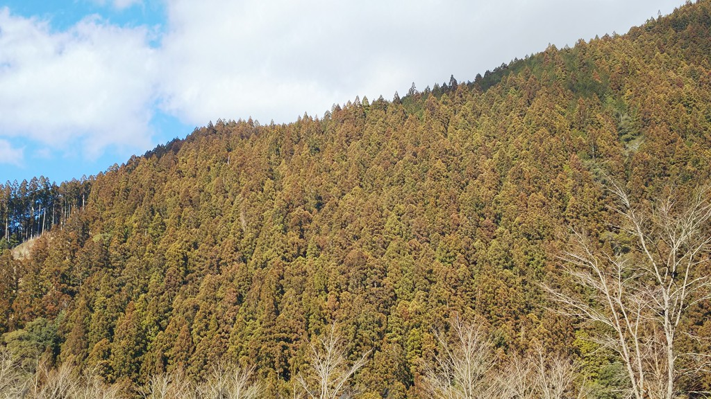 杉や桧の木には花粉が入ってるの?