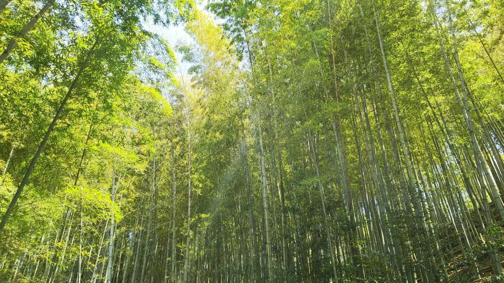 竹と木は何が違うの? タケの生理生態や種類とは